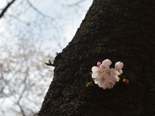 桜の季節到来!文京区播磨坂さくらまつりに行ってきました