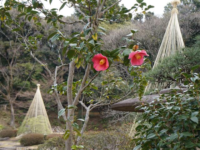文京区、肥後細川庭園(新江戸川公園)の肥後椿