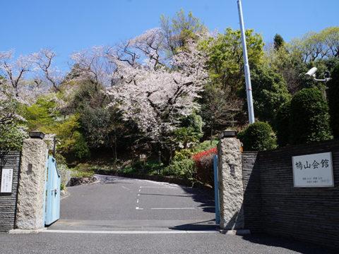 音羽通り鳩山会館の桜