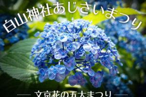 文京花の五大まつり【梅雨の風物詩】白山神社のあじさいまつり