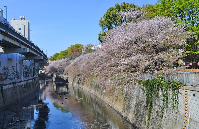 江戸川公園、音羽通りから見た桜