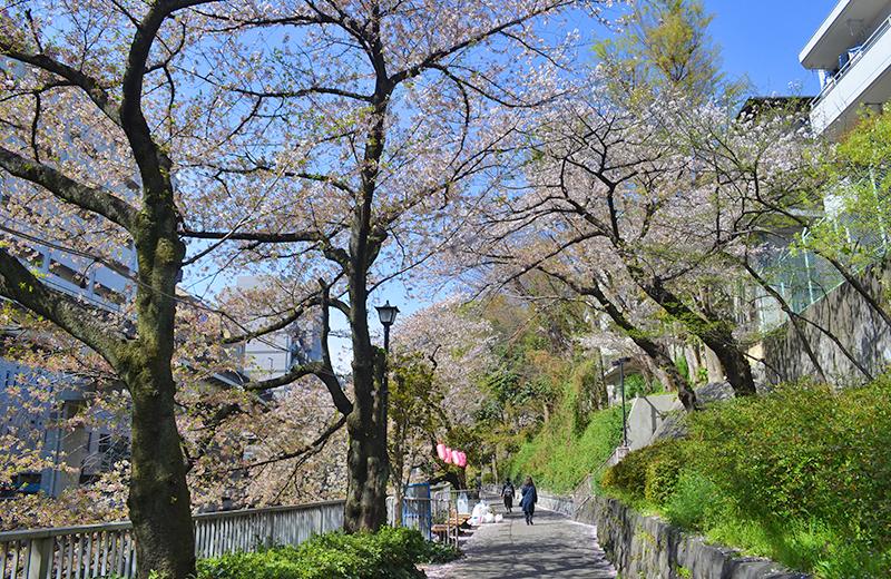 江戸川公園、入口から少し入ったところの桜