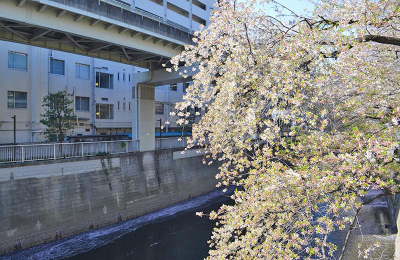 江戸川公園、神田川に咲く桜