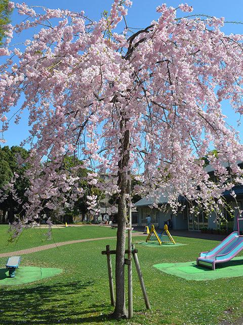 花見、桜の木、目白台運動公園